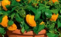 Как вырастить перец в горшках: фото, технология выращивания и полезные советы
