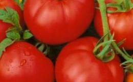 Чем хорош и почему стоит выращивать раннеспелый, высокоурожайный и стойкий к заболеваниям и непогоде томат «Москвич»