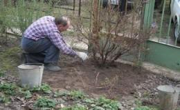 Как правильно обрезать крыжовник весной, чтобы был хороший урожай