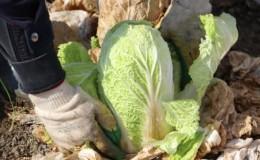 Убираем урожай своевременно: когда убирать пекинскую капусту с грядки и от чего зависит время сбора