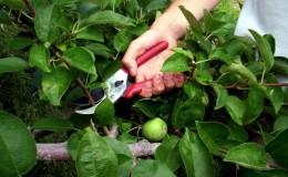 Инструкция по обрезке яблони летом для садоводов-новичков