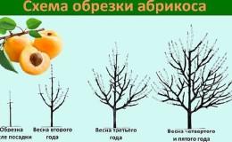 Пошаговое руководство для начинающих садоводов: как обрезать абрикосы весной правильно