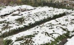 Спасаем урожай от холода: чем укрыть чеснок на зиму, как и когда это сделать правильно