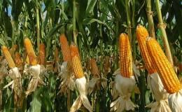 Лучшие сорта семян кукурузы «Пионер»: характеристики, цены и советы по выбору