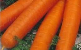 Высокоурожайный сорт моркови Ромоса с крепким иммунитетом