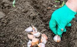 Как правильно сажать чеснок весной