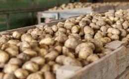 Особенности правильного хранения картофеля: от А до Я