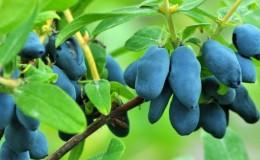 Как эффективно увеличить урожай жимолости