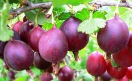 Крупноплодный вкусный сорт крыжовника Серенада