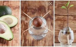 Выращиваем диковинный плод у себя дома: как посадить авокадо и ухаживать за ним правильно
