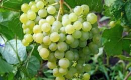 Десертный сорт винограда Алёшенькин, обожаемый садоводами