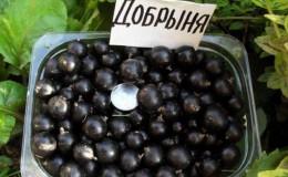 Сорт черной смородины Добрыня: обзор и инструкция по выращиванию