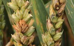 Что такое фузариоз пшеницы и как с ним бороться