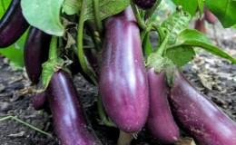 Неприхотливый сорт баклажанов «Робин Гуд» — идеальный для начинающих фермеров