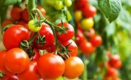 Как правильно опрыскивать помидоры марганцовкой