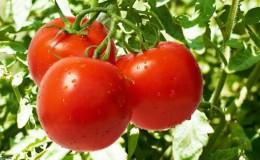 Раннеспелый гибрид с исключительным вкусом — томат «Лили Марлен f1»