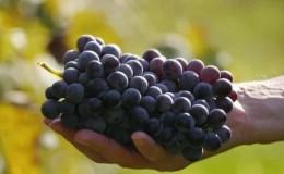 Обзор сорта винограда Фиолетовый ранний и особенности его выращивания