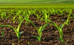 Как правильно выбрать гербицид для кукурузы и произвести обработку: обзор лучших средств