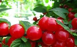 Войлочная вишня — особенности и отличия от обыкновенной