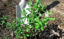 Как правильно посадить облепиху осенью и ухаживать за ней после посадки