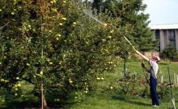 Подкармливаем яблони осенью правильно: все способы