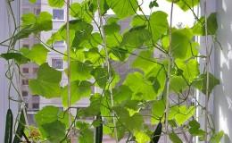 Пошаговая инструкция для начинающих овощеводов: как вырастить огурцы на балконе и получить урожай