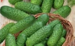 Как правильно вырастить огурцы «Маринда f1» на своем участке и получить богатый урожай