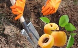 Пошаговая инструкция по самостоятельной пересадке абрикоса летом