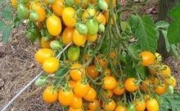 Никого не оставит равнодушным помидор, который выглядит как лимон: томат «Чудо света» и методика его выращивания