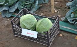 Высокоурожайный среднеспелый гибрид капусты Циклоп f1