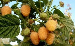 Обзор сорта малины «Золотая осень»