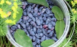 Высокоурожайный сладкий сорт жимолости Индиго джем
