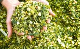 Как происходит выращивание и уборка кукурузы на силос: секреты агротехники от посева до хранения урожая