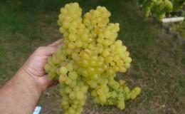 Описание сорта винограда Кишмиш 342