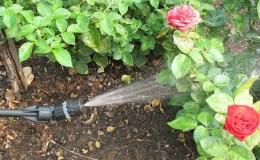 Как защитить кусты и чем обработать розы весной от болезней и вредителей
