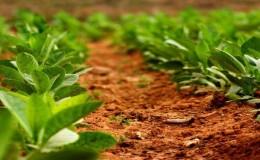 Технология выращивания табака в открытом грунте, теплице и в домашних условиях