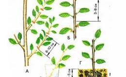 Руководство по черенкованию черешни летом: от выбора черенков до ухода за новым деревом