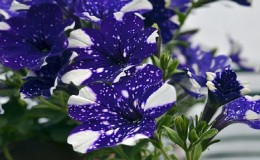 Вегетативная петуния Звездное небо с удивительными на вид цветками