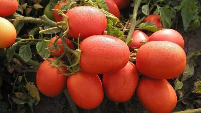 """Как вырастить хорошие помидоры сорта """"Столыпин"""""""