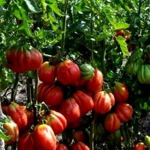 Почему стоит выращивать томат Этуаль: преимущества сорта и советы для получения богатого урожая