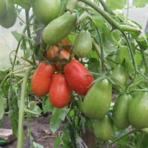"""Урожайный и легкий в выращивании томат """"Женское счастье"""" - фото плодов и секреты грамотного ухода"""