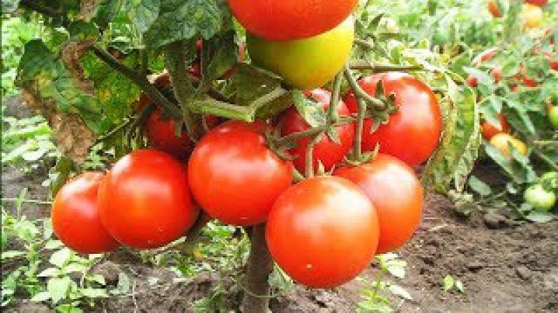 Томат Джина: характеристика и описание сорта, урожайность, отзывы и фото