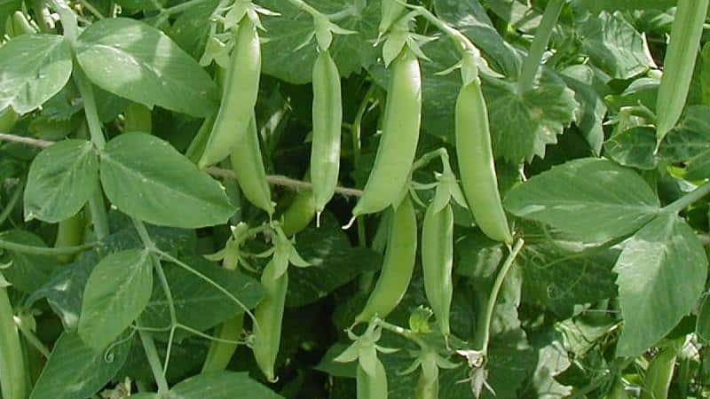 Особенности выращивания стручкового гороха