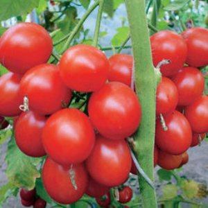 """Грозди ярких красных плодов, как с картинки: томат """"Верлиока"""" - украшение грядки"""