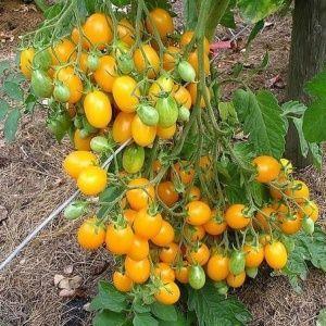 """Никого не оставит равнодушным помидор, который выглядит как лимон: томат """"Чудо света"""" и методика его выращивания"""