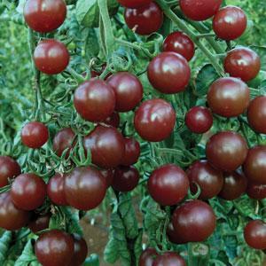 Чем так хороши помидоры Черри
