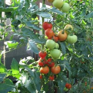 Для завязи помидоров народными средствами