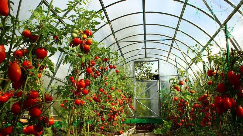 Чем ценны Минусинские томаты