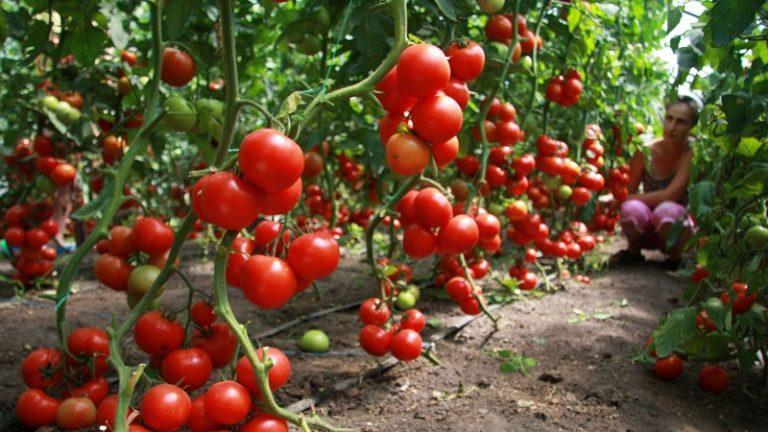 почему плохо зреют помидоры в открытом грунте
