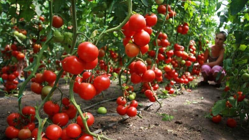 Что делать, когда помидоры плохо растут